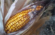 Watch mycotoxins, the destroyers of fertility and hatchability