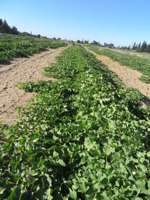 INNOVA SEEDS- SERVING GULF & THE MIDDLE EAST GROWERS