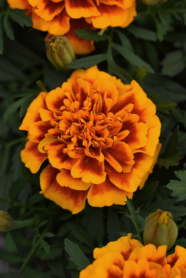 PanAmerican Seed® is an internationally renowned breeder and producer of seed-raised flowers and vegetables based in West Chicago, Illinois, USA.