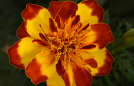 Heat-Loving Plants from PanAmerican Seed