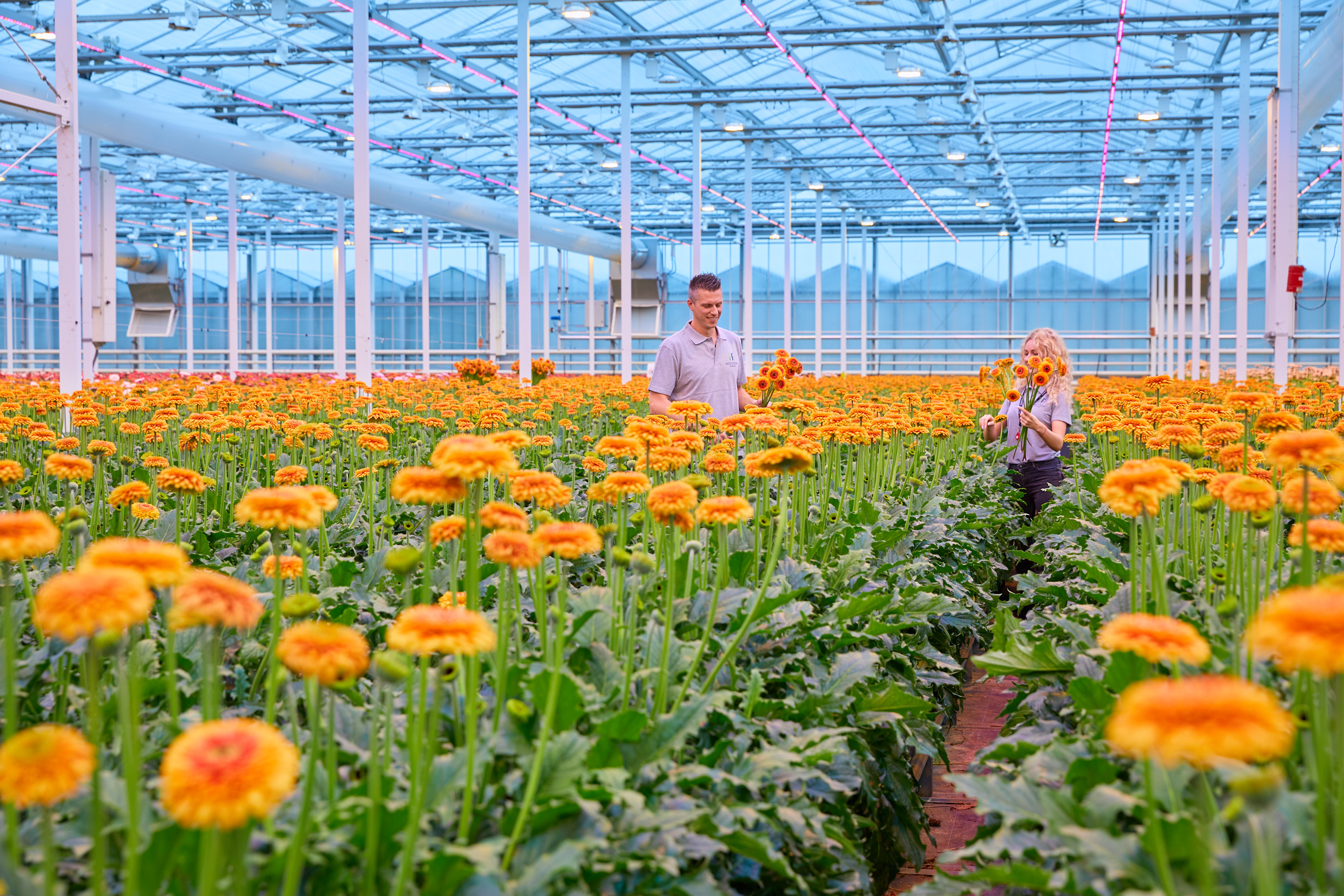 Signify teams up with world's largest gerbera grower Holstein Flowers for 1-hectare Philips GreenPower LED toplighting project