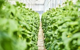 365 days of vegetable growth: Cultivation in closed systems with PERLIGRAN®