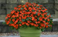 Garden Impatiens Are Back ... Without The Risk!