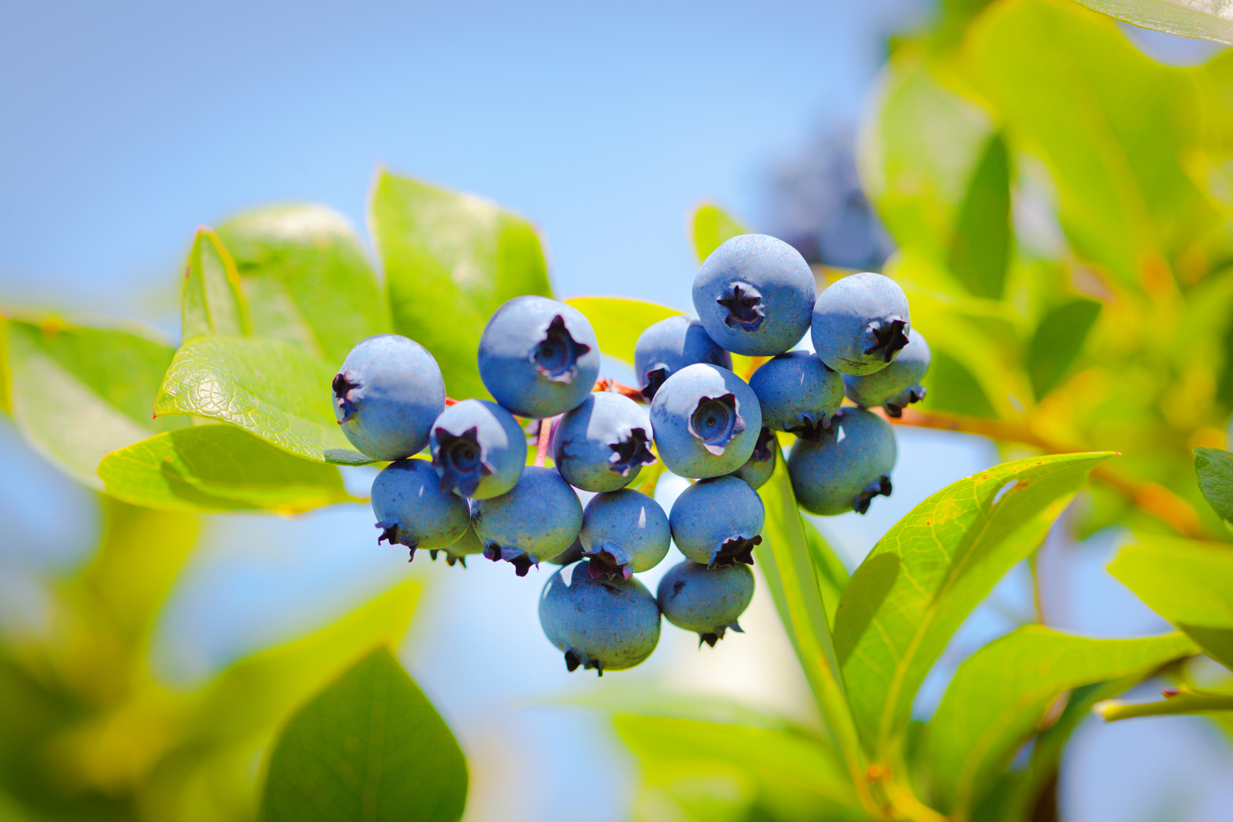 SANLUCAR MAKES ITS FIRST SHIPMENT OF BLUEBERRIES FROM SPAIN TO MIDDLE EAST WITH LATEST CONTROLLED ATMOSPHERE TECHNOLOGY
