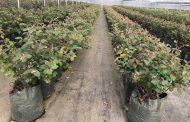 Easy-Fill™ Planter Bags and their Key Role in Controlled Environment Agriculture
