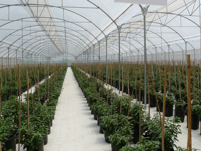 TOMATO AND PEPPER, 7 PROPOSALS FROM ARRIGONI TO INCREASE PRODUCTIVITY
