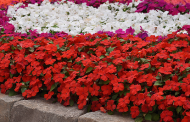 U.S. Utility Patent Granted For Beacon™ Impatiens