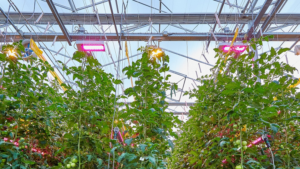 Signify supports Bryte, one of the largest Dutch tomato growers, for its new greenhouse equipment (83,000 m²) with a hybrid Philips LED lighting system