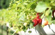 Bluestim® prevents cracking in soft fruit