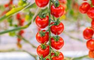 Signify helps AppHarvest to increase yields in 25-hectare greenhouse