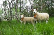 FindMy Launches Next Generation Satellite IoT Livestock Tracker Powered by Globalstar