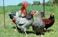 DOMINANT CZ - Classic layers and dual purpose poultry for global markets