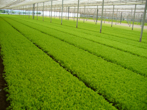 FRESH-CUT SALADS AND OTHER VEGETABLES, ARRIGONI'S TECHNICAL SOLUTIONS FOR QUALITY PRODUCTIONS