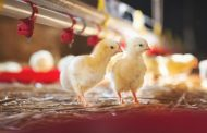 VARYING HEAT REQUIREMENTS DEPENDING ON AGE OF CHICKS