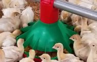 Chore-Time KONAVI® Poult Feeder Gives Turkeys a Strong Start