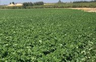 Potato production in Egypt: export demands increases interest to bio pesticides