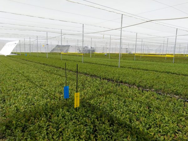 Berry fruits, protection and high productivity with Arrigoni's Robuxta® and Biorete®