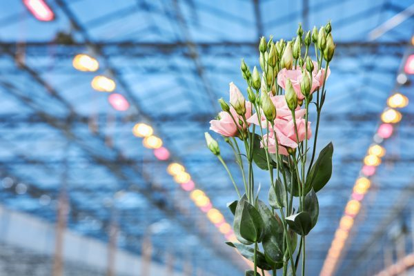 Top quality lisianthus with hybrid lighting installation from Signify at Lugt Lisianthus
