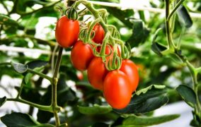 ISF statement on the notification of genome edited high-GABA tomato in Japan