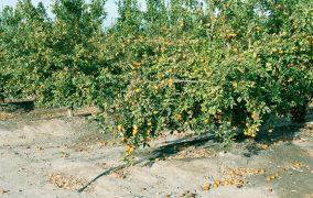 Focusing on irrigation to limit premature fruit drop in citrus